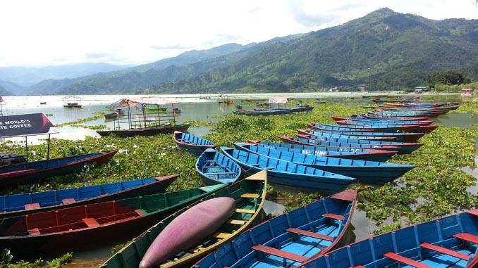Water hyacinth in Phewa Lake.